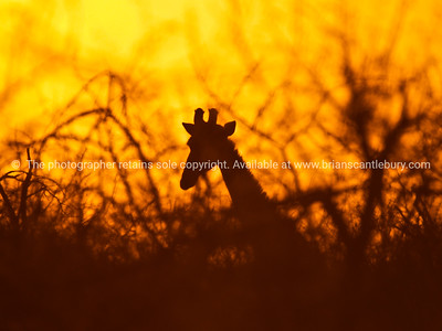 At sunset, the bush silhouette and girrafe.
