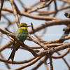 Swallow-tailed bee-eater (Merops hirundineus chrysolaimus)