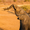 Young elephant shiny and wet from playing in mud lifts trunk