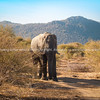 Large Elephants standing in way blocking track in bush in South Africa