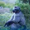 Wild baboon sitting in bush looking pensive