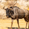 Wildebeest standing in South African landscape