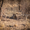 Cheetah resting in shade