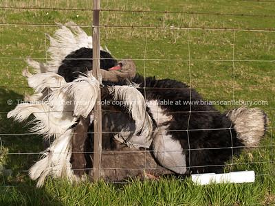 Ostrich, in loving embrace.