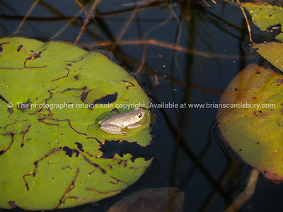 Female Painted Reed Frog