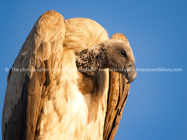 White backed vulture in tree South Africa