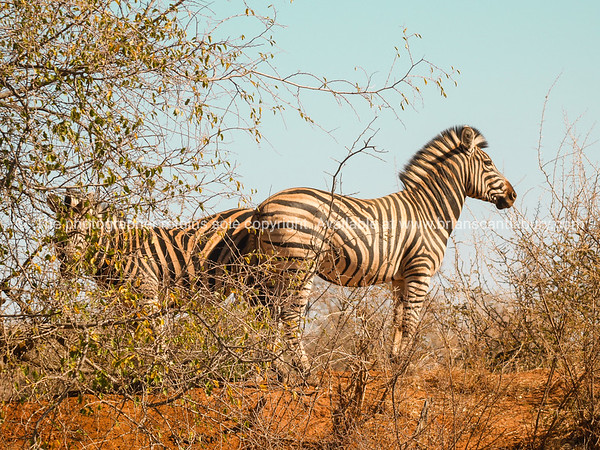 Two zebra standing back to back in sparce African bush their stripes meeting