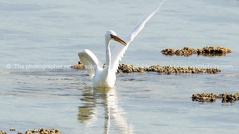 Large white eastern reef egret.