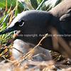 Baby bird's eye and open beak framed by open beak of parent