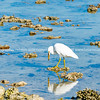 Eastern white egret on coral in lagoon.
