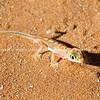 Palmato gecko near dunes at Hidden Vlei Sossosvlie, Namibia