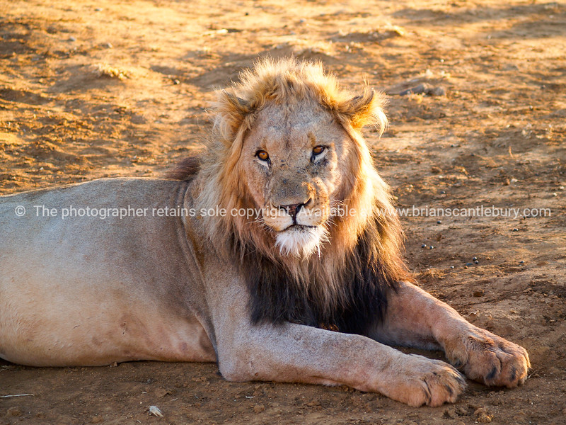 Leisurely male lion in heat of African day caught  back lit by sun with glow in mane