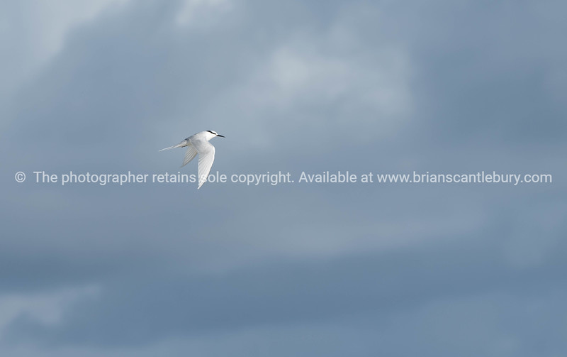 Black naped tern flying past.