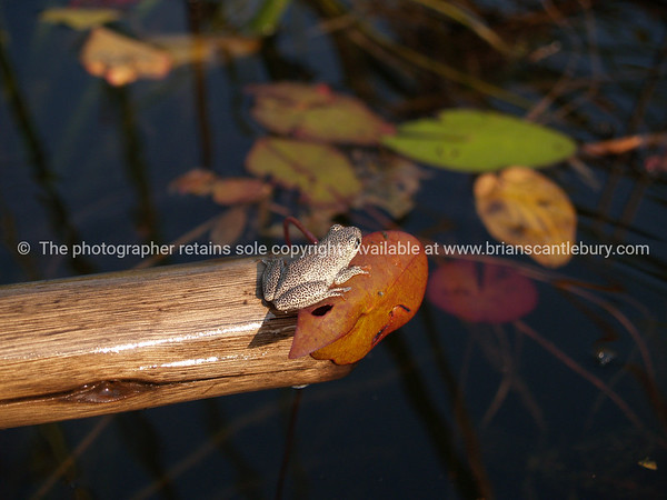 Tiny, Female Painted Reed Frog