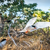 Roseate tern arrives back at nesting site with small fish in beak to feed young.