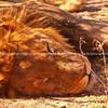 Lion asleep closeup