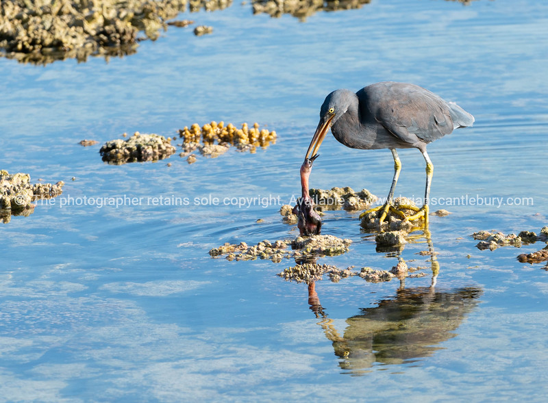 Eastern egret, grey morph version standing on coral with dead baby bird