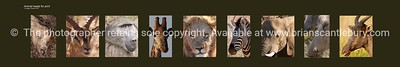 African Heads. Selection 9 wild animal African heads. Printable only by ordering direct; brian@brianscantlebury.com. Please email and advise your size.( print ratio 5;1 ie, 40 high ='s 2000wide including border) and other specifics for quote.