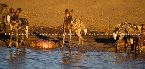 Dinner time at the water hole, wild dogs of Africa.