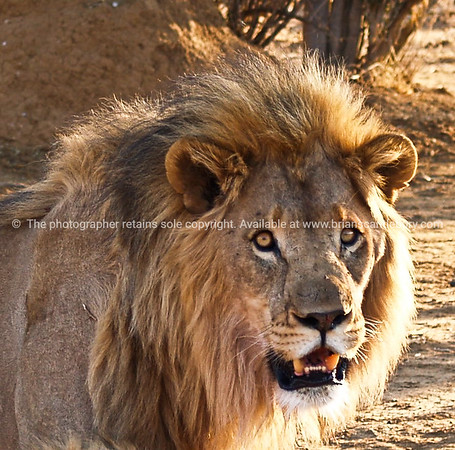 Eye to eye, Lion stares the camera down.