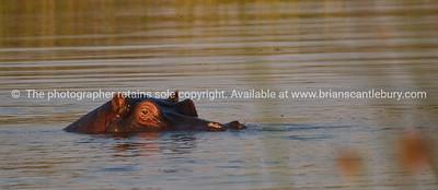 Hippo, peering.