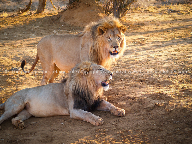 Male lions together, one standing one lying in shade