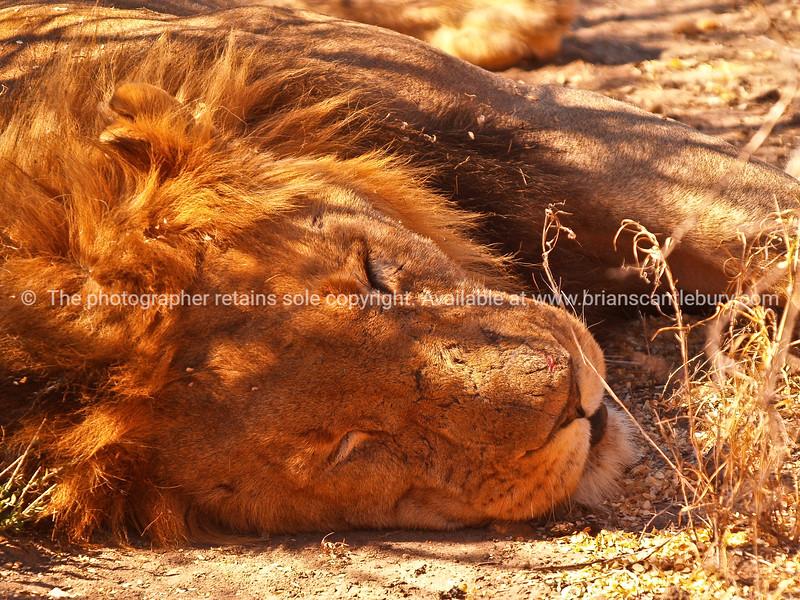 Resting male, lion.