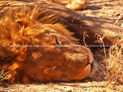 Resting male, lion.
