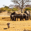 Elephants in South Africa family in dry waterhole with young and warthog running away.