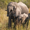 Elephants, mother and calf drinking in the swamps of Botswana.