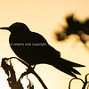 Golden glow of sunset behind silhouette bird