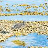 Eastern egret, grey morph