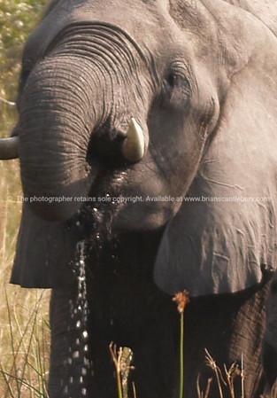 Elephant drinking in Botswana swamp.