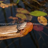 Marbled Reed Frog tiny frog fround in Africa.