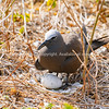 Common noddy with one large egg in ground nest
