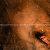 Lion head asleep withopen mouth and fangs