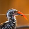 Portrait of red billed hornbill bird in South Africa.