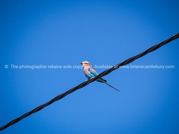 Bird on a wire, lilac breasted roller.