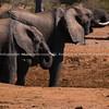 Elephants approach dry waterhole in search of water.