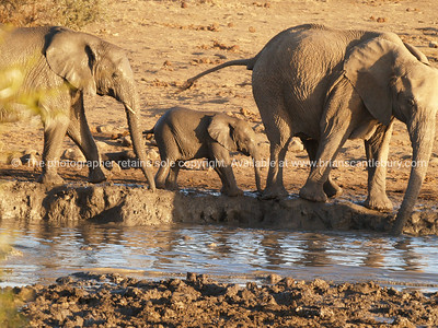 Family of Elephant at water hole.