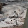 Roseate Tern chick in breading season on Lady Elliot.