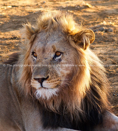 Leisurely lions in heat of African day portrait closeup.