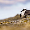 Pair bridled tern together on rock slope closeup.
