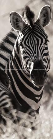 Monochrome Zebra closeup - abstract decor prints