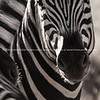 Monochrome Zebra closeup - abstract decor prints