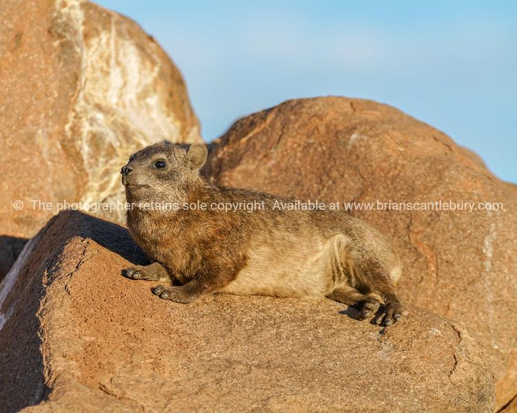 Dassie on rocks a late afternoon sun