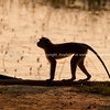 Silhouette monkey walking along log by Okavango swamp