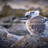 White capped noddy chick in rocky landscape