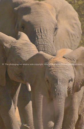 Elephant, family.