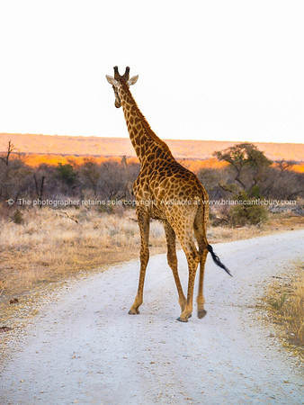 Tall giraffe on dirt road with South African landscape behind.